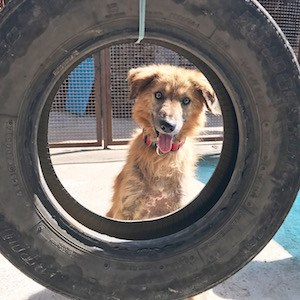 Dog Tire Swing