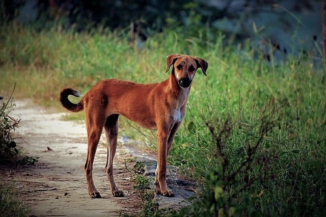 Pariah – The Story of a Street Dog