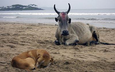 Goa dogs