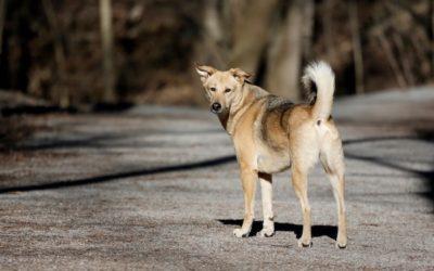 dog india