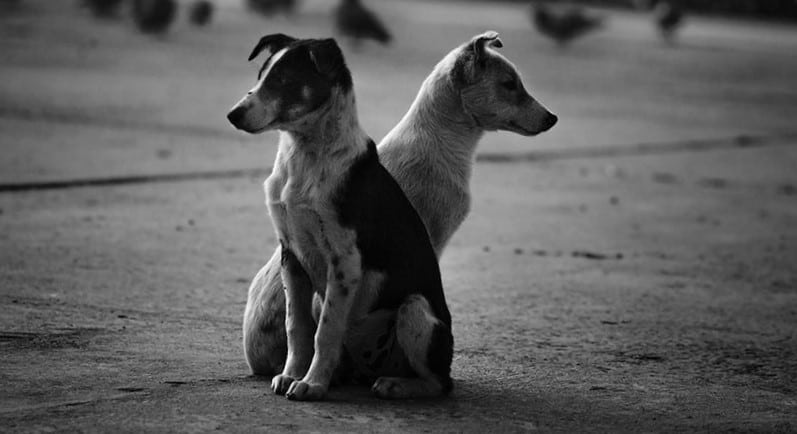 Our Desi Dogs: Loyal Protectors